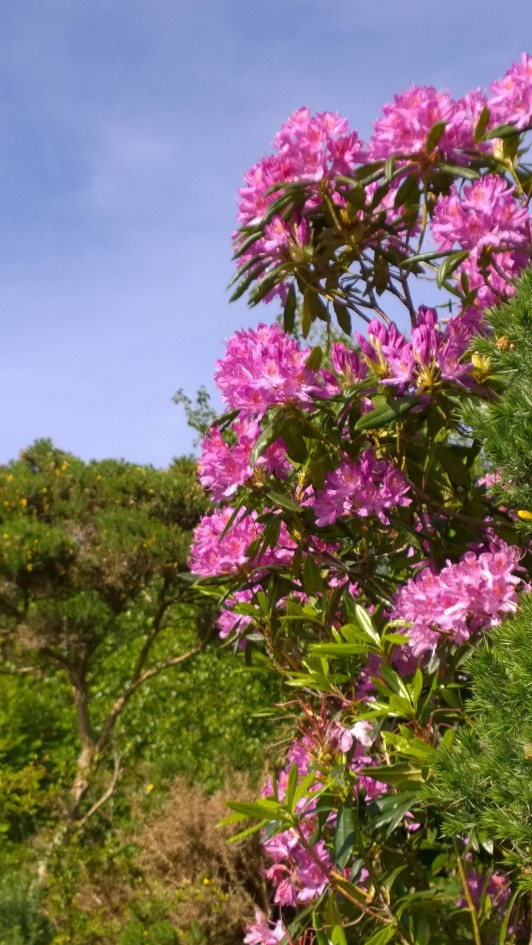Wild Rhododendrons , County Mayo Ireland.