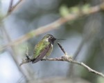 HummingBird  my favorite bird to photograph. This one is half the size of the average Thumb...tiny !!